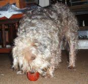 GizmoGeodog with his prize BIONIC Dog Treat Stuffer Ball