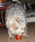 GizmoGeodog learning about his GiveAway Prize..BIONIC treat ball